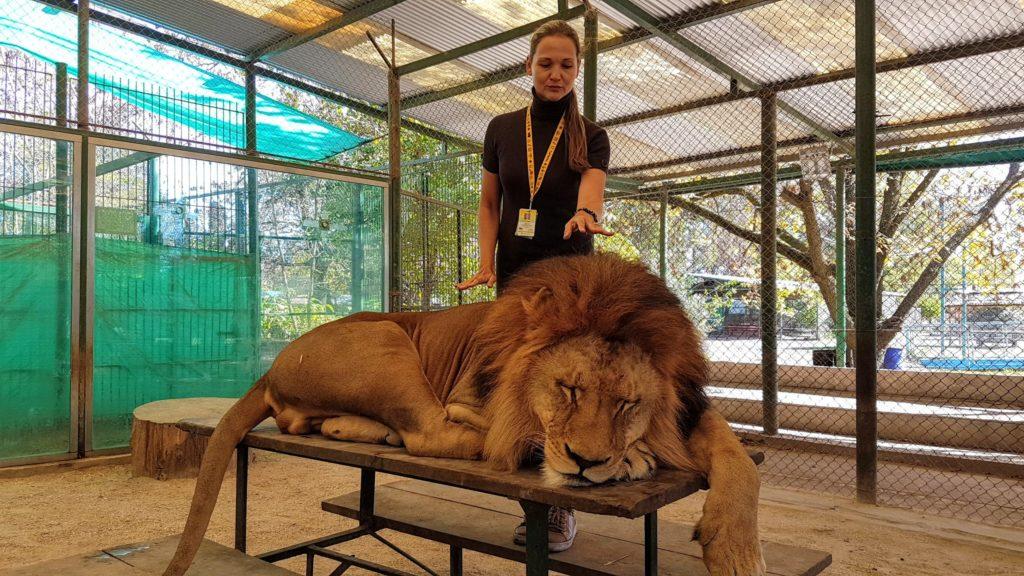 первый раз в жизни дотронуться до льва